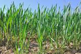 jeunes pousses de blé vert