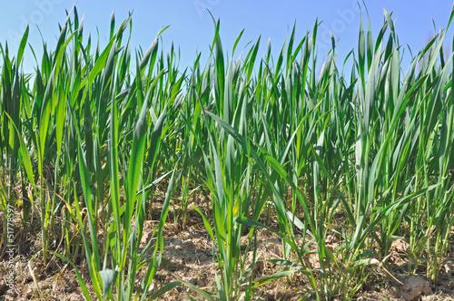 jeunes pousses de blé vert - 51778597
