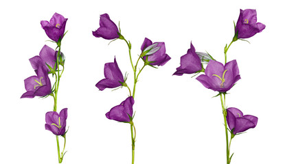set of lilac campanula flowers