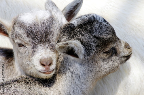 仔山羊の兄弟