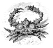 Shellfish - Crabe (Parthenope Epineuse) - Krustentier
