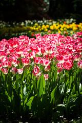 aiuola di tulipani