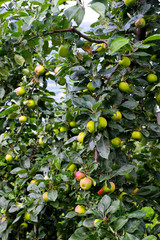 Hardanger apples