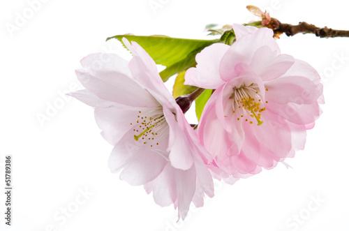 Zierkirschenblüten