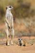 Meerkat with curious baby, Kalahari desert