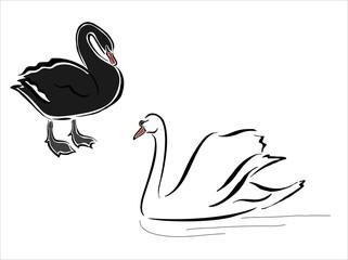 cisnes blanco y negro
