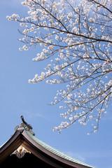 Sakura at shinto srine in Japan