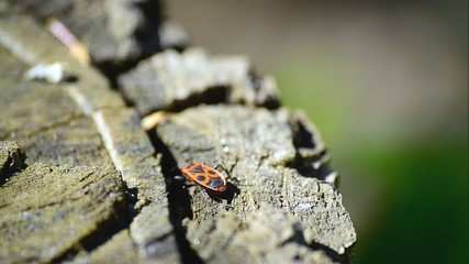 Firebug, Pyrrhocoris apterus, in nature