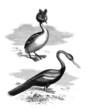 Sea-Fowls : Greb & Anhinga - Grèbe Cornu