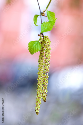Spring birch catkins with tender new leaves close-up