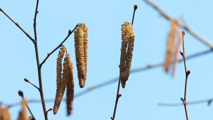 Catkins on an Alder Tree in Spring