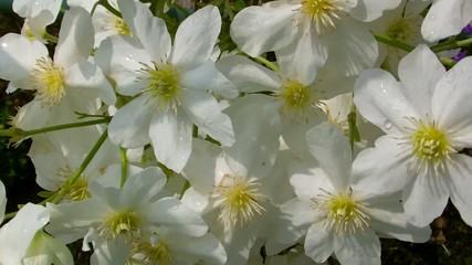 Blüten in weiß