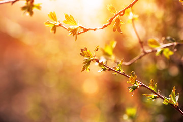 branch of black currant at sunset time