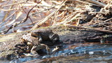 Couple Of mating Toads in spring season