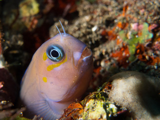 purple goby