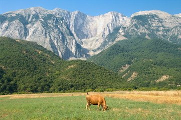 Cow And Mountains In Albania