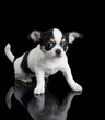 Chihuahua puppy sits on black background