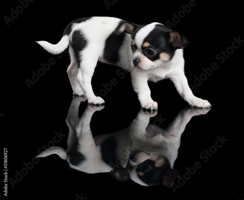 Puppy of Chihuahua on black background