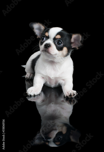 Chihuahua over black