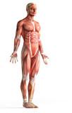 anatomie svaly