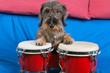Bassotto alle percussioni