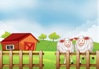 Sheeps inside the wooden fence with a barn