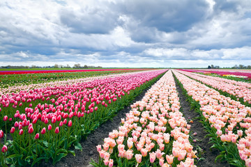 Dutch tulip fields in spring