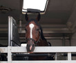Sport horse wainting in vehicle before showjumping competition