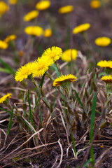 Plant of Coltsfoot