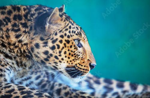 Fotobehang Leeuw Leopard