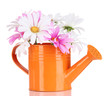 Beautiful daisies in colorful watering can isolated on white