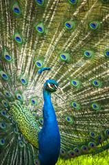 peacock © drfoto3
