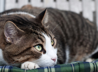 Gatto tigrato in relax