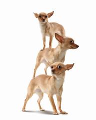 Pyramid of three funny dogs