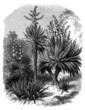 Yuccas Varieties : Filamentosa - Aloifolia - Gloriosa