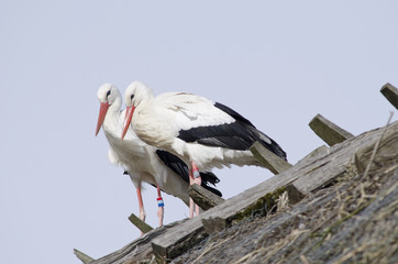 White storks on a roof (Ciconia ciconia)