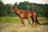 Mixed breed bay horse standing