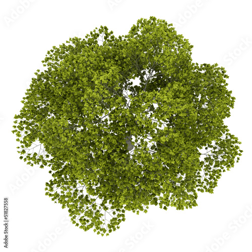 top view of american beech tree isolated on white background