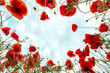 Poppies around you