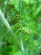 Caterpillar of the butterfly  machaon on the fennel,