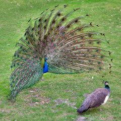 peacock with outstretched plumage with shows near peahen