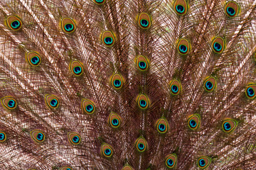 detail plumage peacock - animal abstract photo