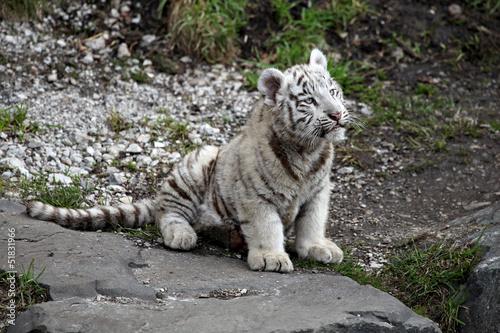 Biały tygrys cub