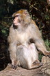 Barbary macaque on the monkey mountain park in Alsace
