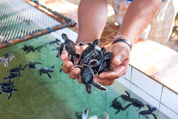 Newly hatched babies turtle in humans hands at Sea Turtles Conse