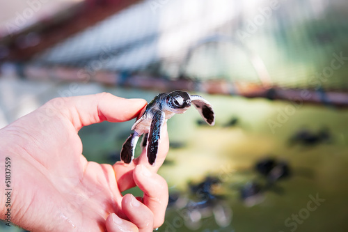 Newly hatched baby turtle in humans hands at Sea Turtles Conserv