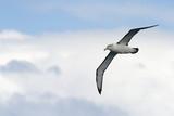 Black-browed Albatross flying against sky. poster