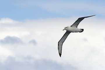 Black-browed Albatross flying against sky.