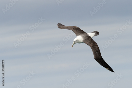 Shy Mollymawk flying.