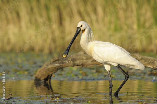 Spoonbill foraging in a small pond